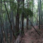 見事な竹林です。