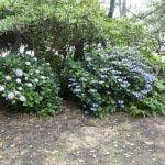 稲村ケ崎海浜公園、展望台にあるあじさい。ちょうど展望台の後ろ側にたくさん植えられています。
