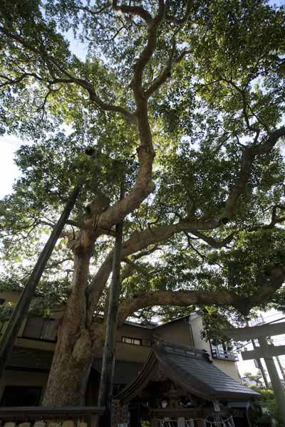 御霊神社の椨(タブノキ)。樹高20m、樹齢は350年です。