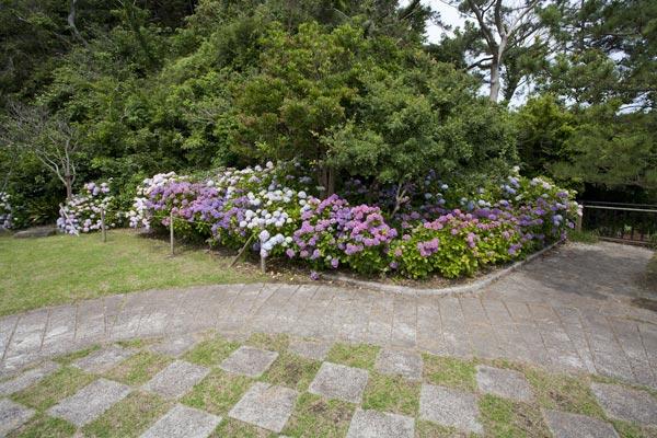 稲村ケ崎海浜公園、展望台にあるあじさい。『続・最後から二番目の恋』第7話で中井貴一が色んな女性に囲まれて困っているシーンでした。ドラマ通り、見晴らしのよい場所です。