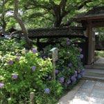 東慶寺、本堂前のあじさい。