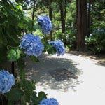 円覚寺の三門手前から右手の参道に入るとあじさいが多く植えられています。三門手前 から右手の参道に入るとあじさいが多く植えられています。
