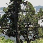 森戸川、そして海に向かって伸びる御神木、飛柏槙(ビビャクシン)。