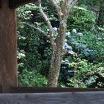 東慶寺梵鐘の裏手、山の斜面にもあじさいが咲いていました。