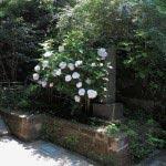 円覚寺黄梅院入口の白いタマアジサイ。とても涼しげです。
