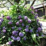 東慶寺のあじさい。