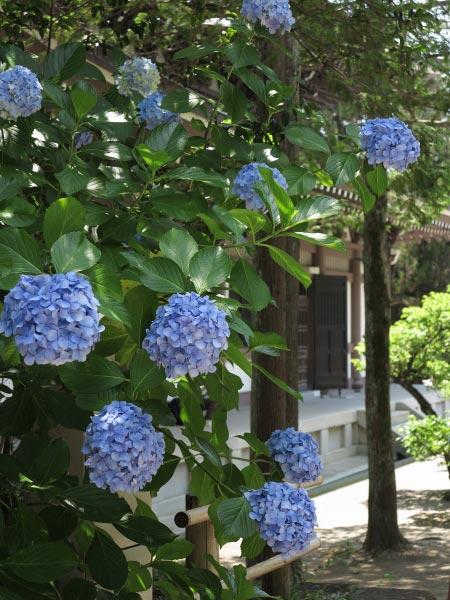 仏殿背後の杉木立に咲くあじさい。夏らしい雰囲気です。