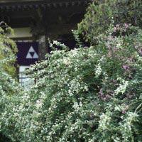 宝戒寺、本堂へと至る道を覆いつくすように咲く萩。