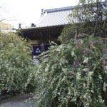 宝戒寺の萩。宝戒寺は別名萩寺といわれます。