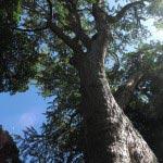 五霊神社にある大銀杏。樹齢800年以上といわれます。樹高25m、胸高周囲6.7m。