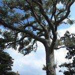 東漸寺境内の槇の木。