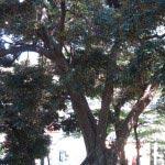 五霊神社はたくさんの巨木があります。これは粗樫(アラカシ)。
