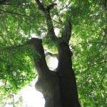 槇の大木を拝みながら階段を上ります。