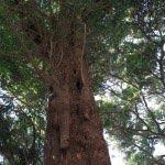 三浦十二天(十二所神社)境内にある銀杏。300年くらいの樹齢はありそうです。