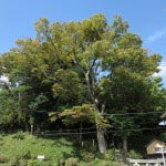 常盤の八雲神社と大木。