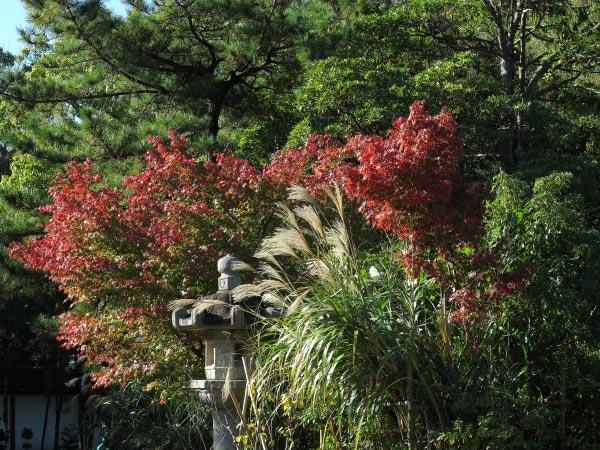 高徳院(大仏)の紅葉。受付を入って大仏様へと向かう途中にあるススキと紅葉。