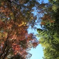 朝比奈切通しの紅葉。紅葉と竹林、秋空がとても爽やか。