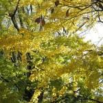 高徳院(大仏)の紅葉。大仏様の背後にある広場は銀杏に覆われています。