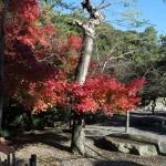 高徳院(大仏)の紅葉。境内左手の小川の流れるあたりに紅葉があります。
