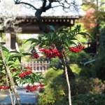 建長寺天源院の紅葉。コムラサキの真っ赤な実がみられました。