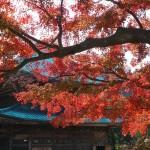 建長寺の紅葉。法堂と紅葉。