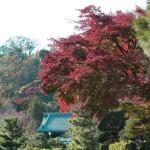 建長寺の紅葉。紅葉越しに三門がみえています。