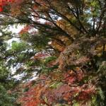 建長寺天源院前の紅葉。