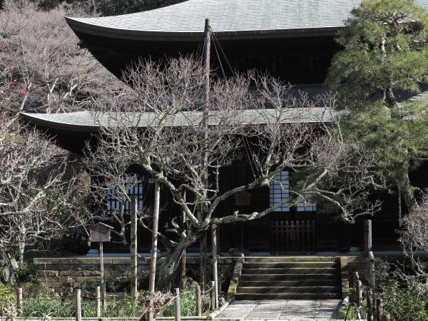 黄梅という名の由来となった瑞泉寺の黄梅。