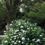 鎌倉市の天然記念物に指定されている英勝寺の唐楓(トウカエデ)の前に咲くあじさい。