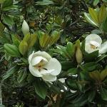 浄光明寺の泰山木(タイサンボク)。見頃は6月下旬から7月上旬。
