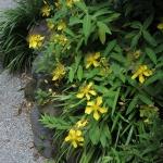 浄妙寺の金糸梅(キンシバイ)本堂前あじさいの季節にみることができます。