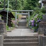 白山神社の参道に入るとあじさいがあります。