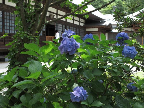 浄妙寺、本堂前のあじさい。