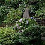 光明寺、記主庭園のあじさい。