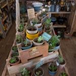 多肉植物のコーナー。多肉植物とは体内に水分を貯蔵するサボテンのような種類をいいます。