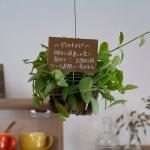 ディスキディア。東南アジアやオーストラリア原産の植物。こうやって宙に浮かせて育てたら面白そう。