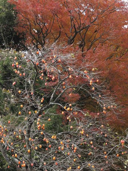 右方向に大きな柿の木があります。