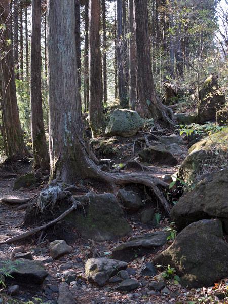 木の根が露出した杉木立。