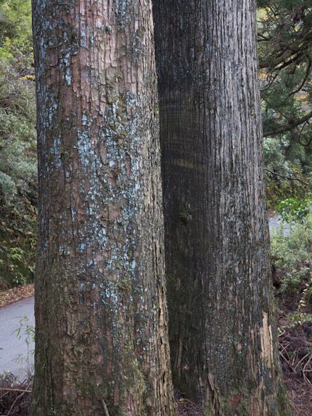 大きな木は無条件に迫力があります。