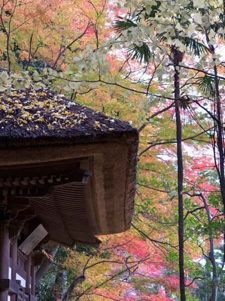 茅葺屋根と紅葉した大銀杏がとてもきれいです。