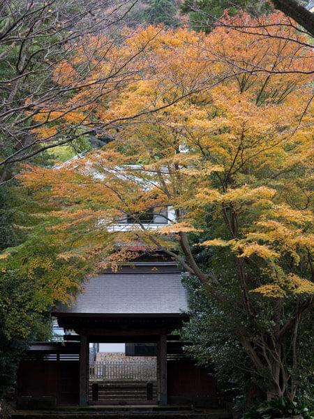 県道沿いにある早雲寺山門付近の紅葉。