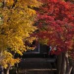 箱根、長安寺の紅葉。門前からすぐにわかる鮮やかさ。