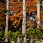 箱根の長安寺、本堂近く、杉木立と紅葉。