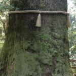 樹齢1,200年という箱根神社の矢立杉。樹高35m、幹周りは6mあります。