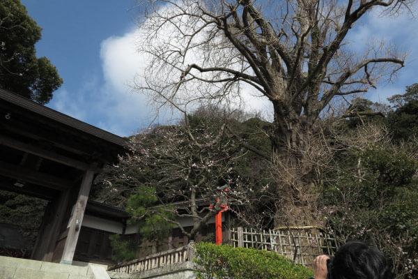 平成28年(2016年)3月8日、荏柄天神社の梅