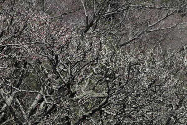 平成28年(2016年)3月8日、瑞泉寺の梅