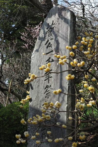 平成28年(2016年)3月8日、荏柄天神社の三椏(ミツマタ)