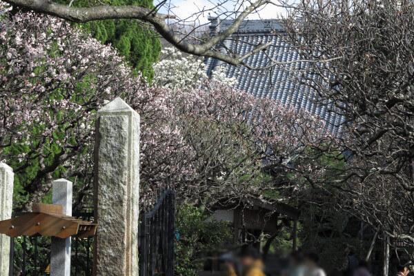 平成28年(2016年)3月8日、宝戒寺の梅