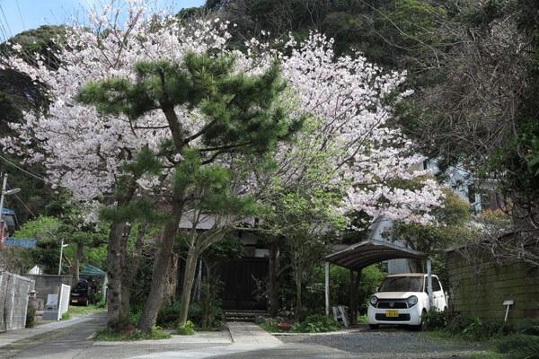 別願寺の桜。