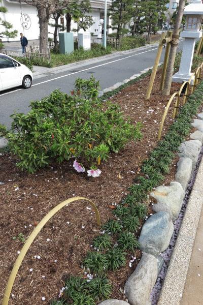 段葛。桜並木とともに躑躅(ツツジ)も植え替えられました。